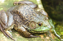 Common Toad Royalty Free Stock Photos