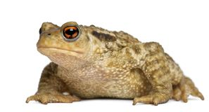 Common toad, bufo bufo, in front of white background. Isolated on white stock photos