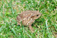 Common toad, bufo bufo, in the grass Royalty Free Stock Photography