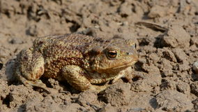 Common toad (Bufo bufo) on ground after rain Stock Photo
