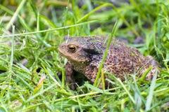 Common toad (Bufo bufo) Stock Photography