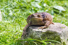 Common toad (Bufo bufo) Royalty Free Stock Image