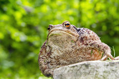 Common toad (Bufo bufo) Stock Image