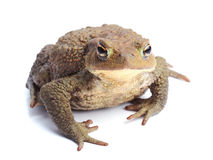 Common toad (Bufo bufo) isolate on white Stock Photo