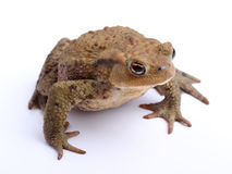 Common toad (Bufo bufo) isolate on white Stock Images
