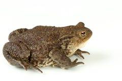 Common toad, bufo bufo, isolated Royalty Free Stock Photos