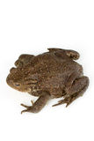 Common toad, bufo bufo, isolated Stock Photography