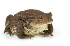 Common toad, bufo bufo, isolated Stock Photo