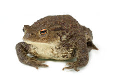 Common toad, bufo bufo, isolated Stock Image