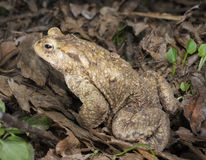 Common Toad Royalty Free Stock Photo