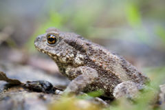 Common toad - Bufo bufo - macro. A common toad in its natural environment Stock Images