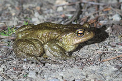 Common toad (Bufo bufo). A male of the Common toad (Bufo bufo Stock Image