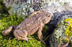 Common toad (Bufo bufo) on moss Stock Photography