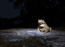 Common toad - bufo bufo - on moss covered stone in the night closeup Royalty Free Stock Image
