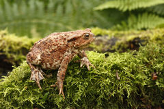 Common toad, Bufo bufo. On mossy log, Wiltshire, summer stock photos