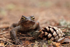 Common Toad (Bufo bufo) and pine cone Stock Photography