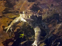 Common Toad Bufo Bufo Stock Images