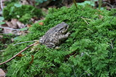 Bufo bufo. Common toad sat on a mossy log Royalty Free Stock Image