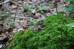 Bufo bufo. Common toad sat on a mossy log Royalty Free Stock Photos