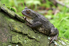 Common Toad - Bufo bufo Stock Photo