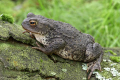 Common Toad - Bufo bufo Royalty Free Stock Images