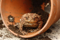 Common toad, Bufo bufo. Single frog by flowerpot, Midlands, summer royalty free stock image