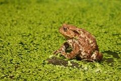 Common toad, Bufo bufo Stock Photography