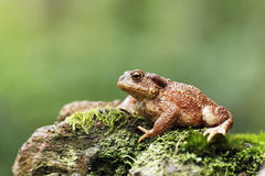 Common toad, Bufo bufo. Single toad on log, Warwickshire, August 2012 royalty free stock photos