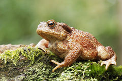 Common toad, Bufo bufo Stock Images