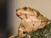 Common toad bufo bufo Royalty Free Stock Photos