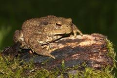 Common Toad Bufo bufo. Stock Photo