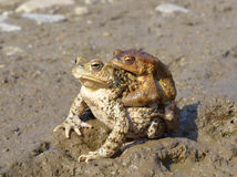 Common toad bufo bufo Royalty Free Stock Photos