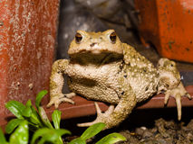 Common toad bufo bufo Royalty Free Stock Photography