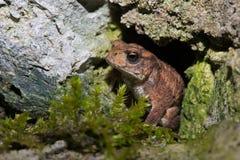 Common Toad Bufo bufo stock image