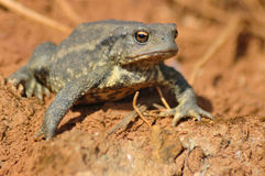 Common toad (Bufo bufo). Trying to appear a larger size Stock Images