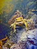Common Toad Bufo Bufo Stock Image