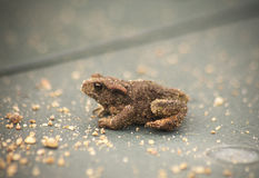 Common toad (Bufo bufo) youngster royalty free stock image