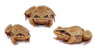 Common toad bufo . Set. Three toads isolated on Stock Images