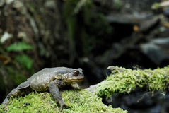 Common toad (Bufo spinosus) in a stream of San Lorenzo town, Lug Royalty Free Stock Photo