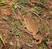 Common Toad climbing slope Royalty Free Stock Images