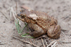 Common toad closeup Royalty Free Stock Photography