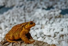 Common toad or European stock photo