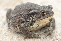 Common toad or European toad. (Bufo bufo) on a sandy ground Stock Photography
