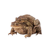 Common toad or european toad. (Bufo bufo),  Amplexus Royalty Free Stock Images