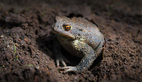 Common toad or European toad (Bufo bufo) hid in a hole Royalty Free Stock Image