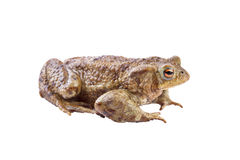 Common toad or european toad (Bufo bufo Royalty Free Stock Photos
