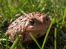 A common toad in the grass. 3 in a series of 3 images royalty free stock images