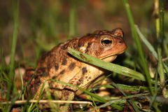 Common toad in grass Stock Images