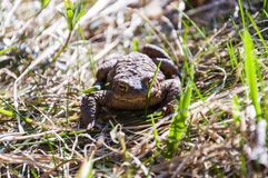 Common toad in the grass Stock Photos