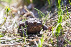 Common toad in the grass Stock Photography